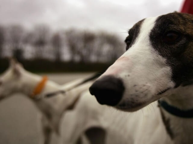http://www.abc15.com/news/region-central-southern-az/tucson/tucson-greyhound-park-hosts-its-final-live-dog-race